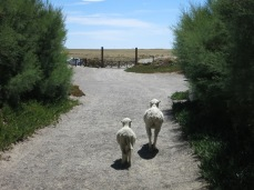 Moutons à Punta Delgada