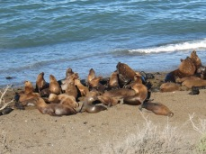 Lions de mer