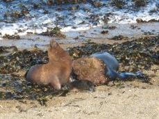 Couple de lions de mer et leur petit