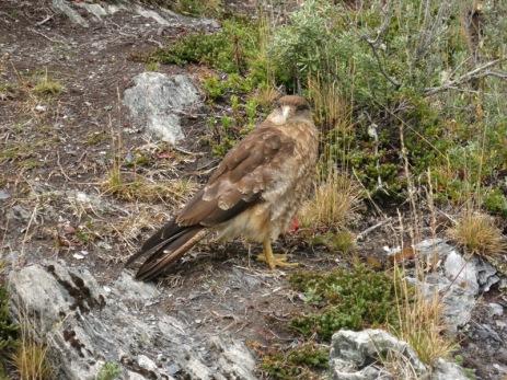 Oiseau local