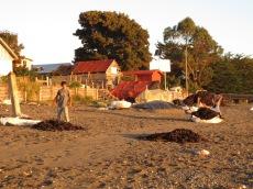 Ile Caguache, récolte d'algues séchées au soleil