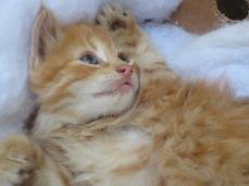 Pompeluche le chaton