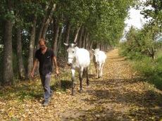 Grégory promène les chevaux