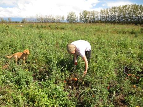 Caroline ramasse les tomates