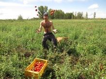 Grégory ramasse les tomates