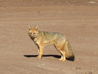 Renard dans le désert d'Atacama