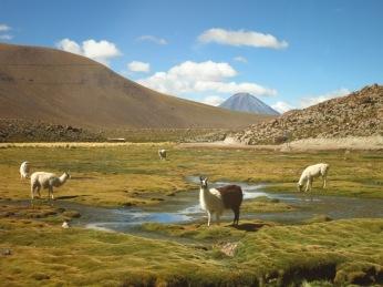 Lamas dans le désert d'Atacama