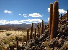 """Forêt de cactus """"cardon"""" dans le désert d'Atcama"""