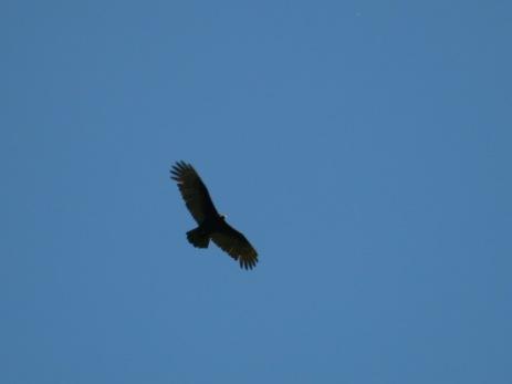 Vol du condor