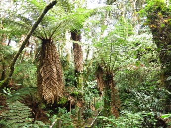 Forêt de fougères géantes à Mairana