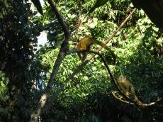 Singes-écureuil ou Saïmaris