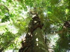 Gigantesque liane qui monte jusqu'en haut de cet arbre