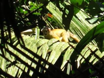 Singe écureuil ou Saïmari