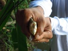 Les dents du Piranha