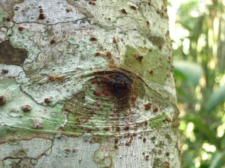 El Palo del Diablo, arbre fin nid des fourmis rouges utilisé autrefois comme instrument de torture