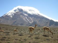 Vigognes devant le Chimborazo