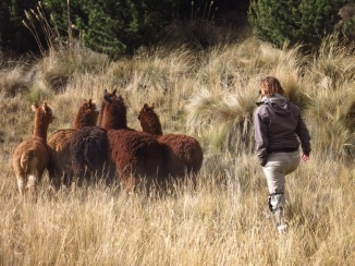 Troupeau d'alpacas