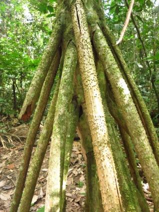 L'arbre qui marche