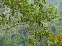 Les oiseaux d'or (queue jaune)