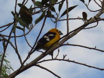 L'oiseau jaune