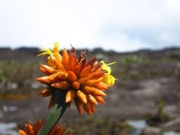Fleur endémique du Roraima