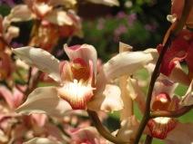 Orchidées dans le jardin de Raul et Cesarina